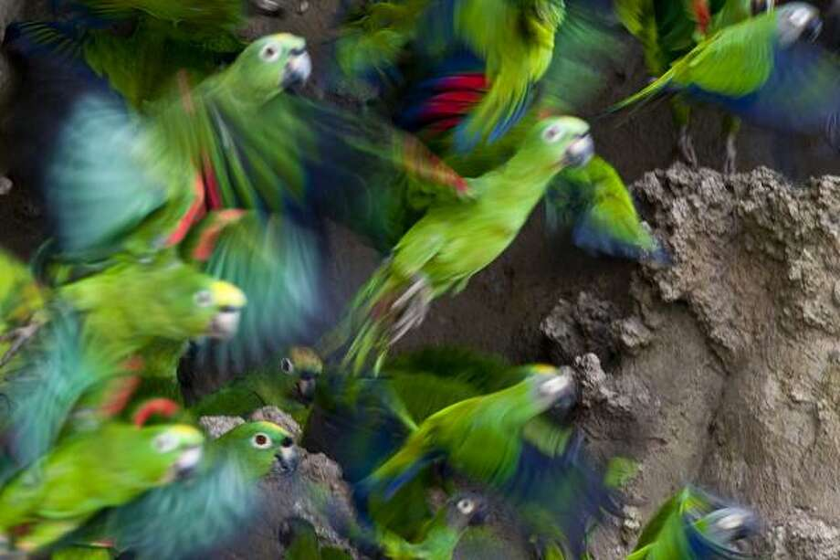 Hundreds of yellow-crowned parrots on a clay lick in Ecuador is an amazing sight. Photo: Kathy Adams Clark
