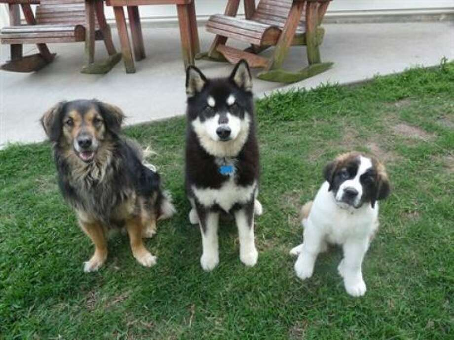 Three amigos Photo: BigDogsRule, PetsHouston