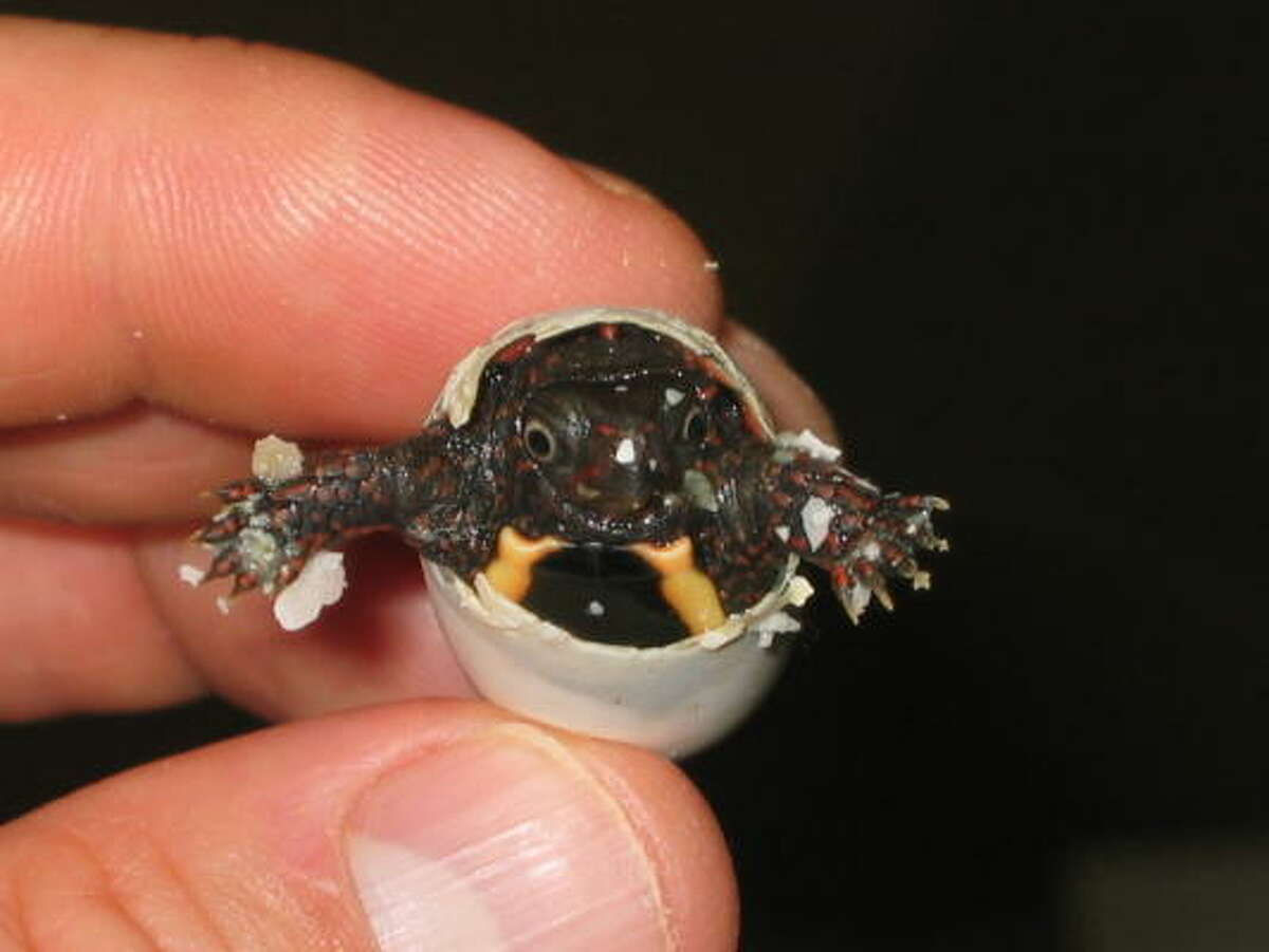 Hello, world! Vietnamese Leaf Turtle (Geoemyda spengleri)