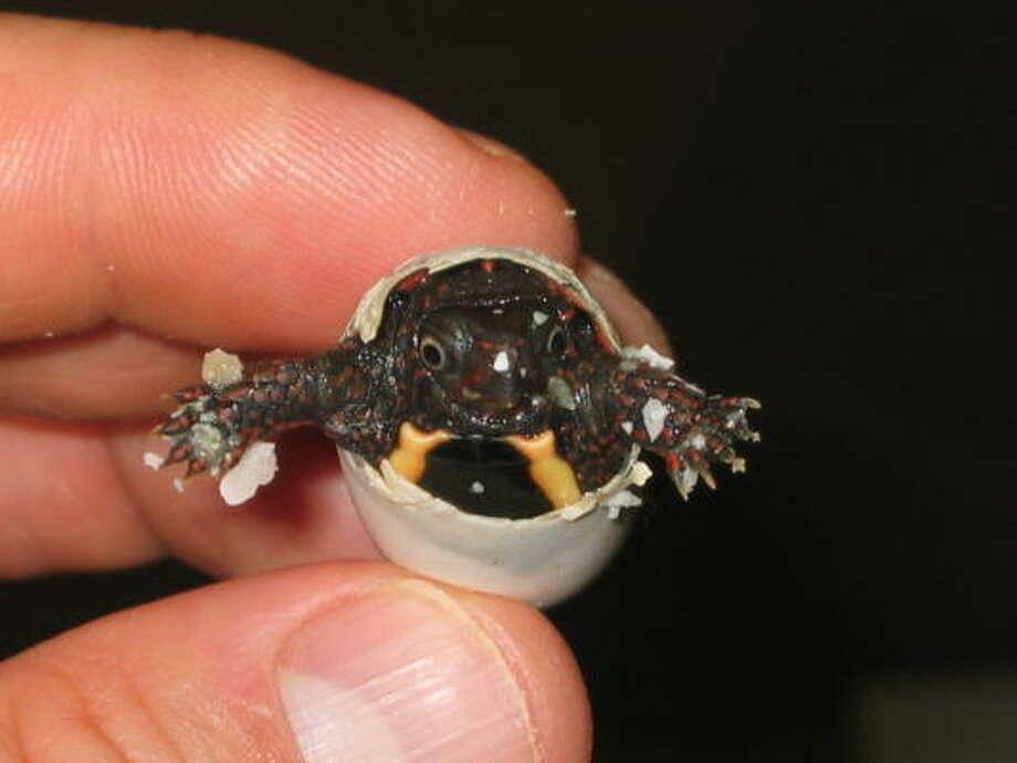 Hello, world!  Vietnamese Leaf Turtle (Geoemyda spengleri) Photo: Mrapley