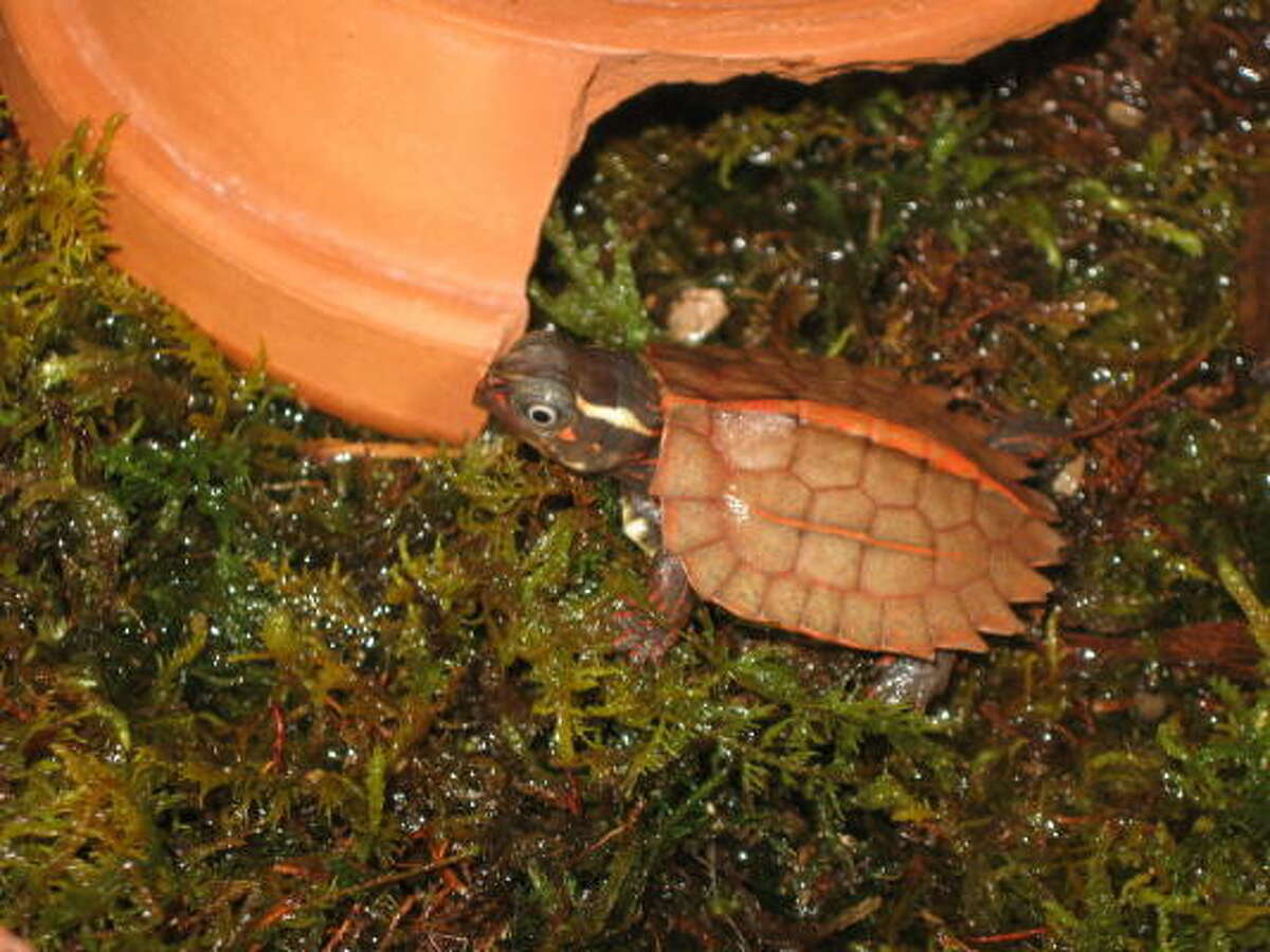 Newly hatch Vietnamese Leaf Turtle (Geoemyda spengleri) intently looking for a bite to eat.