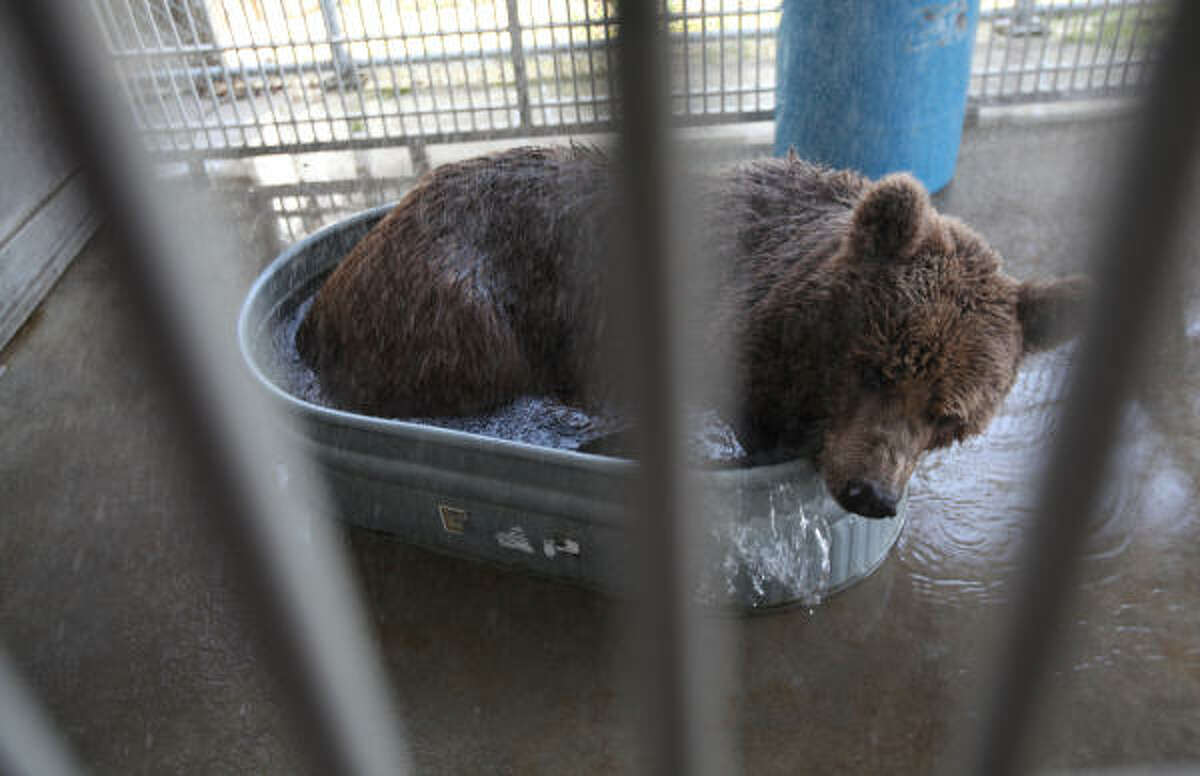 'Betsy the Bear', a rescued bear by Houston SPCA, plays in the tub to cool down as she spends her last day in Houston on Tuesday, May 25, 2010, in Houston. Betsy will join other European brown bears at the Zarnesti Bear Sanctuary in the Transylvania region of Romania. Her journey tomorrow.