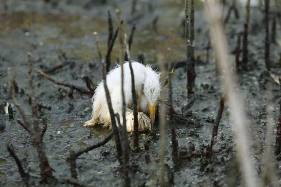 A young heron sits dying amid oil splattering underneath a mangrove on an island impacted by oil from the Deepwater Horizon oil spill in Barataria Bay, just inside the the coast of Lousiana, Sunday, May 23, 2010. Photo: Gerald Herbert, AP