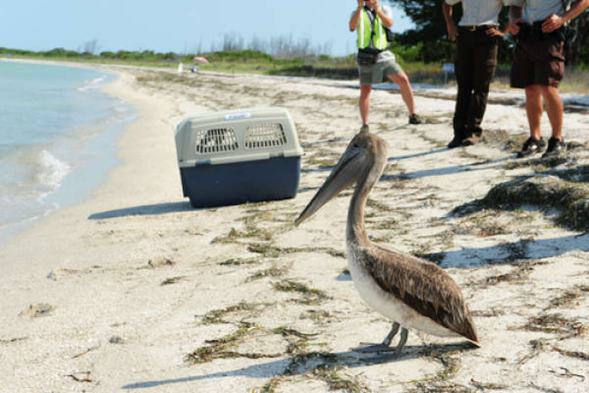 A brown pelican prepares to enter the water at the Egmont Key National Wildlife Refuge near St. Petersburg, Fla., May 23, 2010. The bird was rescued and cleaned after being found oiled near Louisiana's coast.