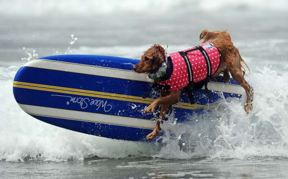 A dog competes during the 5th annual Loews Coronado bay resort surf dog competition in Imperial Beach, south of San Diego, Calif., Saturday. Photo: GABRIEL BOUYS, AFP/Getty Images