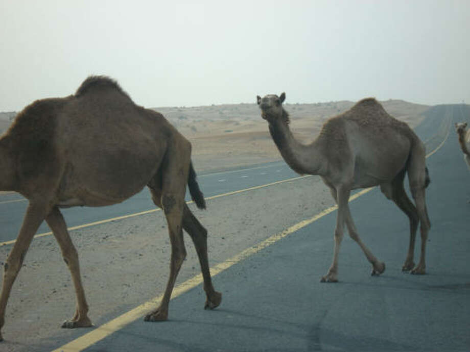 It's not unusual to see camels roam the desert and cross highways. They are also available for tourists to ride.