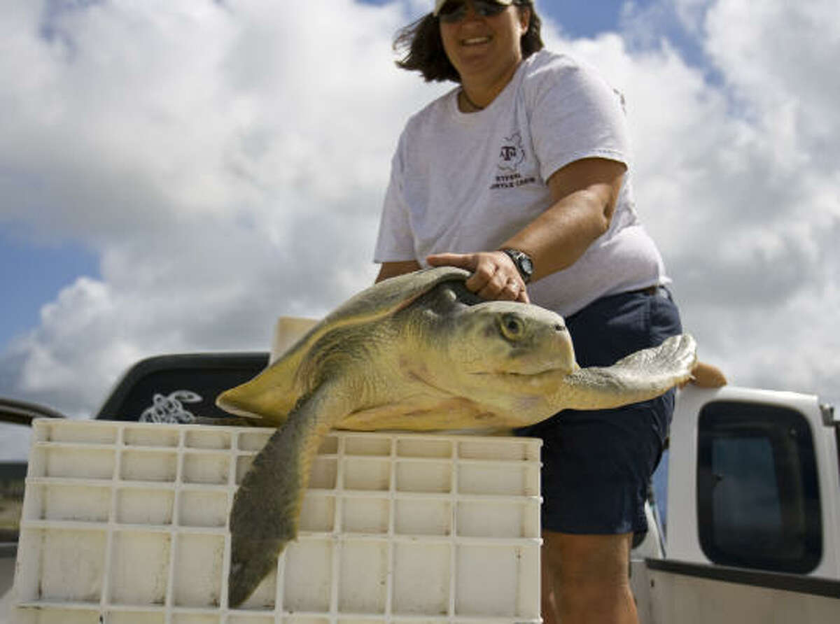 Tasha Metz, a post-doctoral research associate at Texas A&M Galveston, places a Ridley Sea Turtle into it's crate on Bolivar Penninsula, which was this season's first live Ridley Sea Turtle's found after laying her nest of eggs. The team found three sea turtles and four nests after finding only dead turtles since the beginning of nesting season April 1.