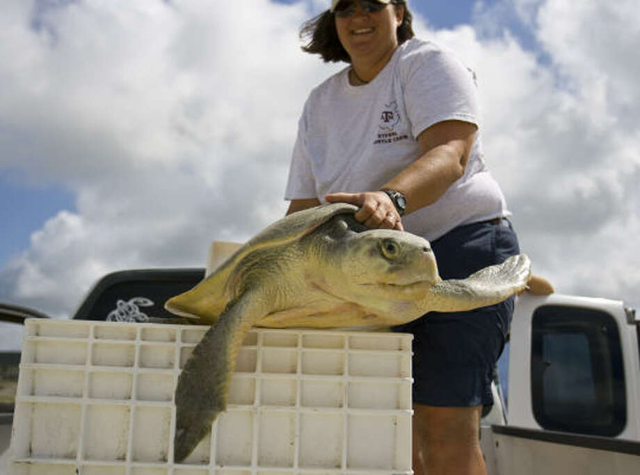 Tasha Metz, a post-doctoral research associate at Texas A&M Galveston, places a Ridley Sea Turtle into it's crate on Bolivar Penninsula, which was this season's first live Ridley Sea Turtle's found after laying her nest of eggs. The team found three sea turtles and four nests after finding only dead turtles since the beginning of nesting season April 1. Photo: Karen Warren, Chronicle