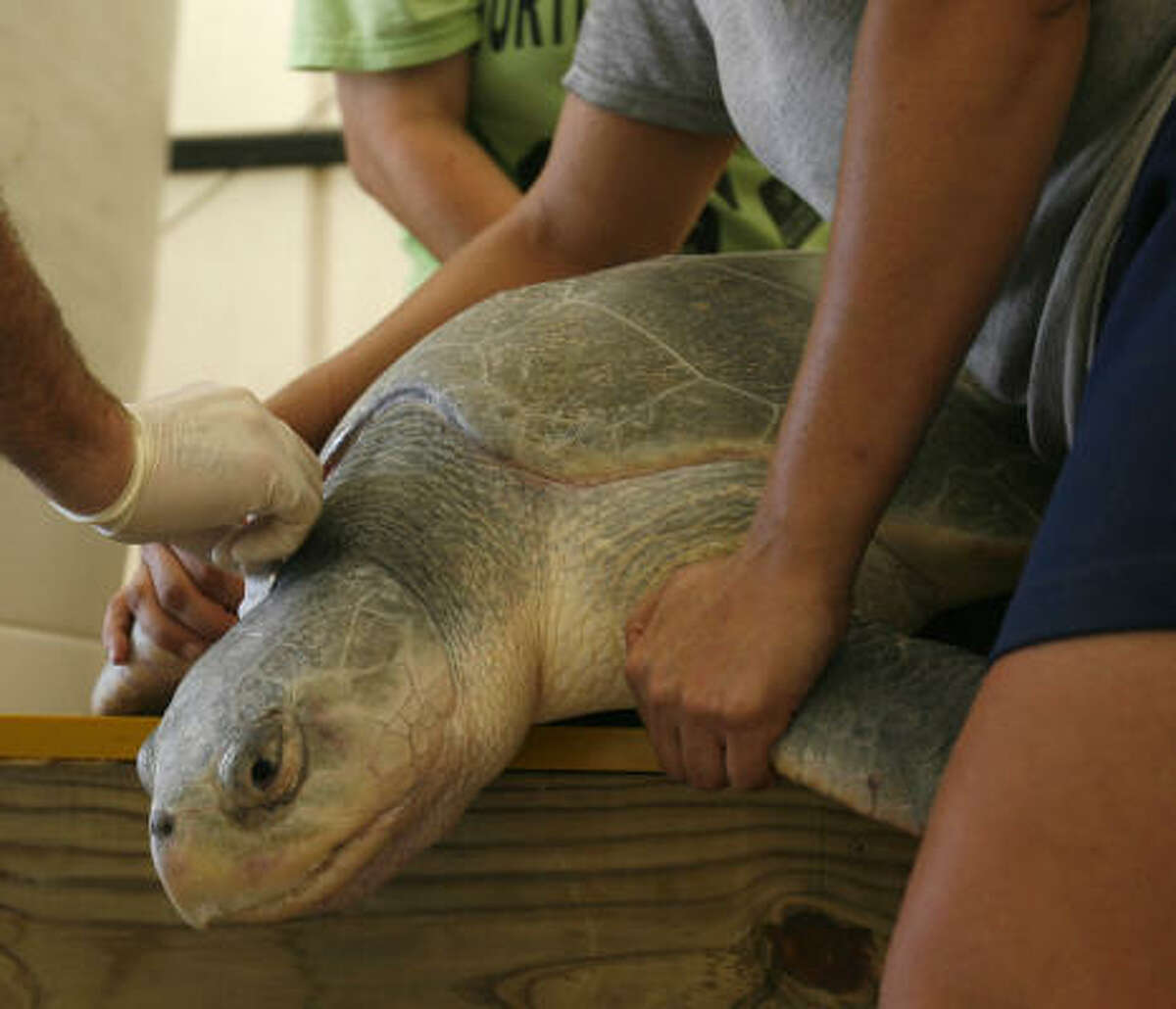 Ben Higgins, the sea turtle program manager for NOAA, left, tries to get blood from a young nesting sea turtle as Lyndsey Howell, Fishery Biologist for NOAA, and Jeanine Stewart, an A&M grad student and turtle patrol coordinator for the Sea Turtle and Fishery Ecology research lab, hold her.