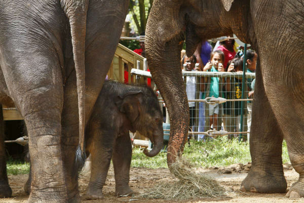 Baylor, a 15-day-old Asian Elephant, makes his official public debut as he plays with his mom, Shanti, left, and his aunt, Methai. Baylor was named by the Zoo's elephant care team in recognition of the unprecedented and ongoing advances made by Baylor College of Medicineís (BCM) research team to significantly reduce the threat of a potentially lethal elephant herpes virus.