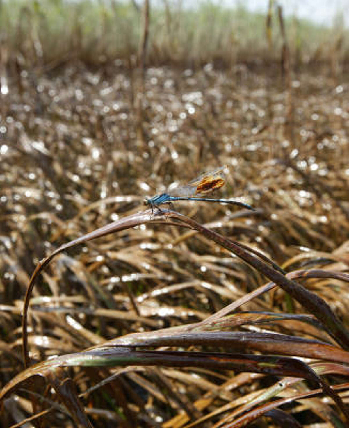 A dragonfly sticks to marsh grass covered in oil from the Deepwater Horizon oil spill in Garden Island Bay on the Gulf Coast of Louisiana on May 18.