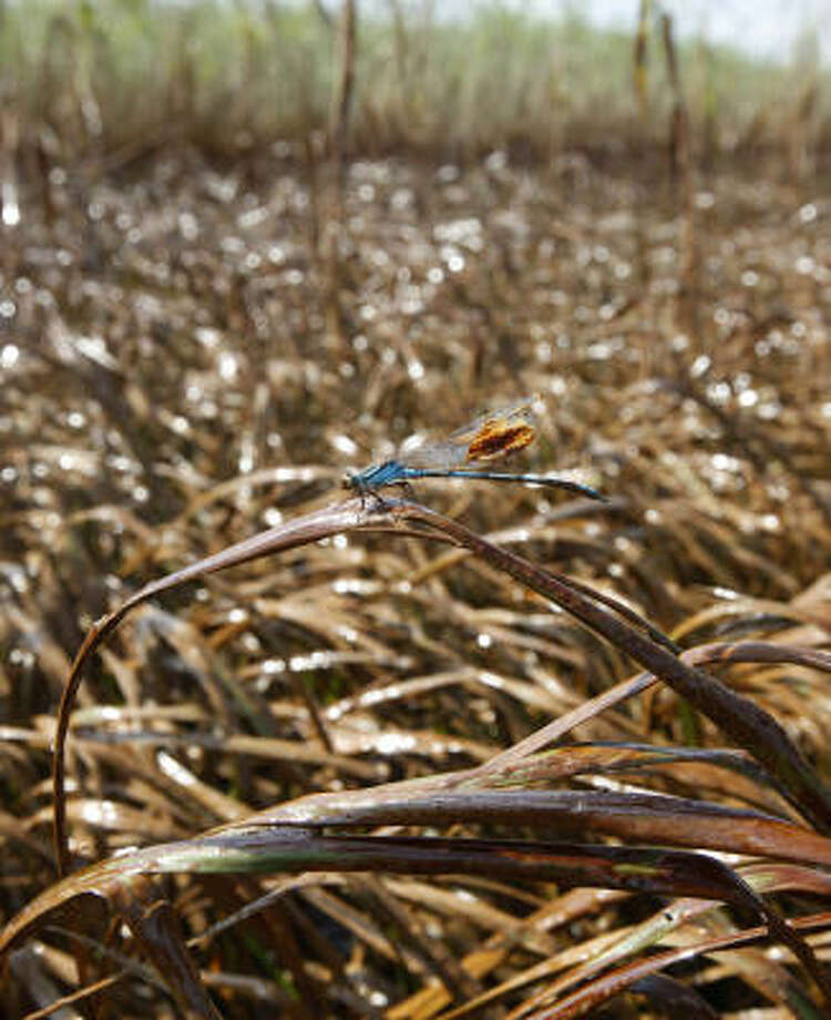A dragonfly sticks to marsh grass covered in oil from the Deepwater Horizon oil spill in Garden Island Bay on the Gulf Coast of Louisiana on May 18. Photo: Gerald Herbert, AP