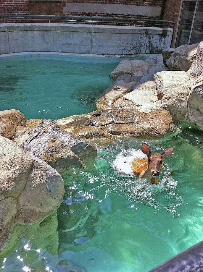 A deer jumped into the seal tank at Maritime Aquarium in Norwalk Tuesday. The deer apparently entered the indoor/outdoor seal exhibit during the 1:45 p.m. feeding after swimming from the Norwalk River. Photo: Contributed Photo / Stamford Advocate Contributed