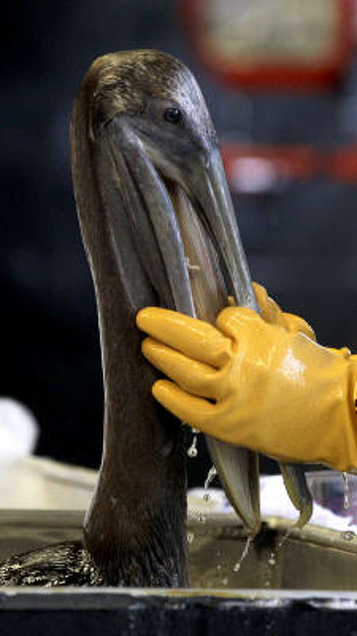 A brown pelican is cleaned May 15, 2010 at the Fort Jackson Wildlife Rehabilitation Center. The bird was rescued after being exposed to an oil spill in the Gulf of Mexico caused by an explosion aboard Transocean's Deepwater Horizon rig in the Gulf of Mexico in late April.