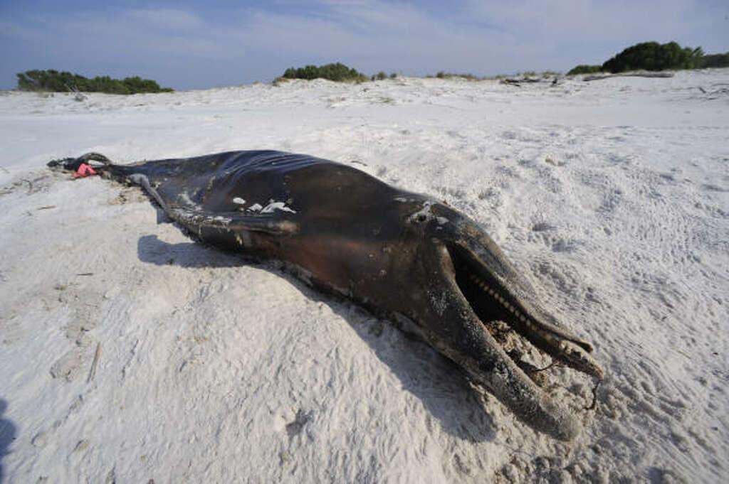 Dolphin With Horn A dolphin laid dead on a beach