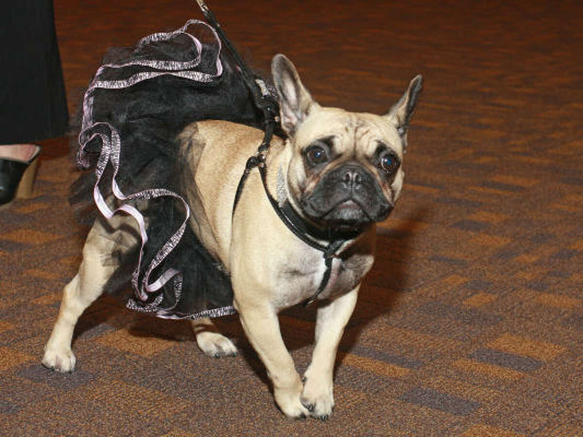 Vivienne, a French Bulldog owned by Tonya Ater, looks like a winner.