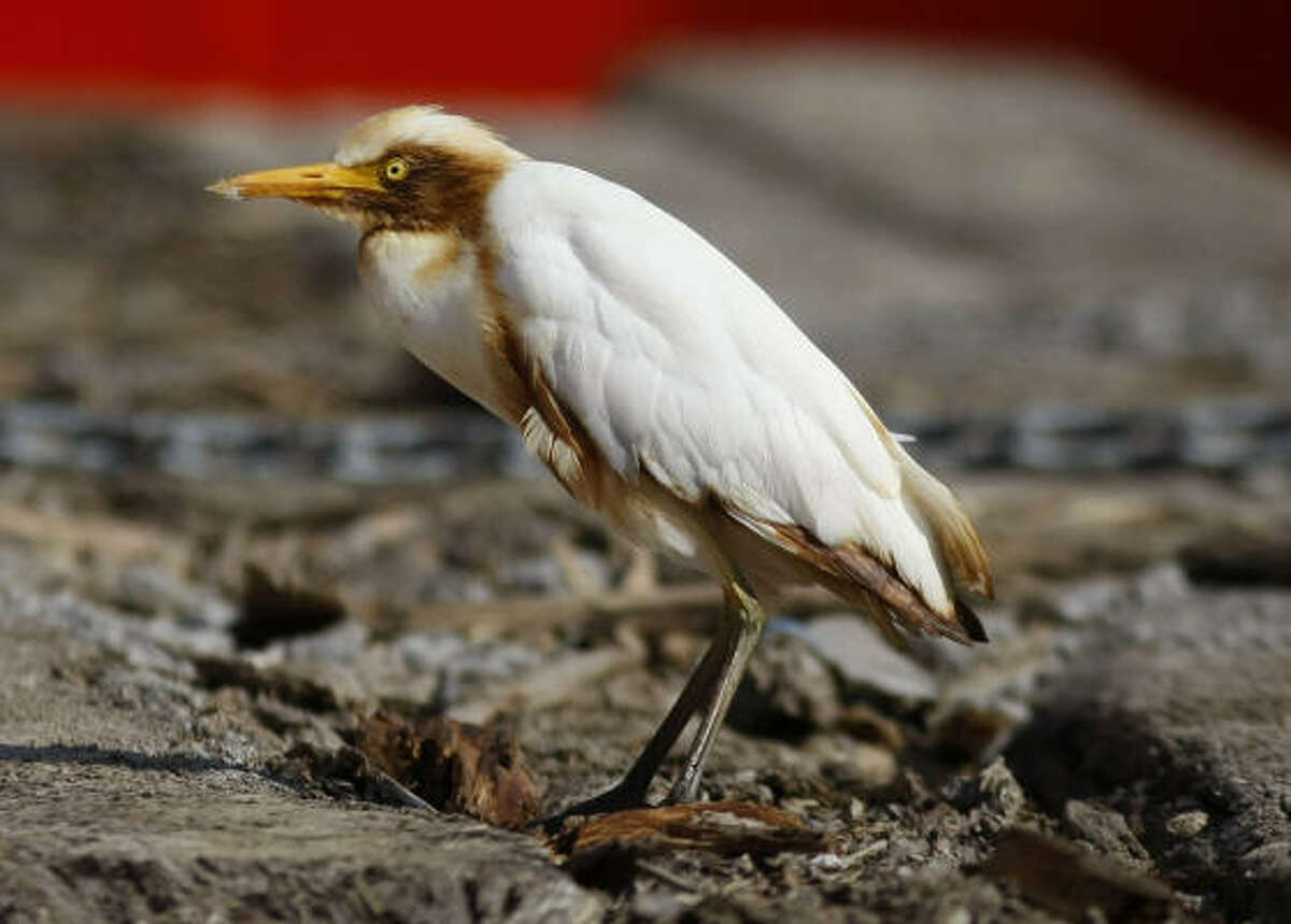 An oil-stained cattle egret rests on the deck of the supply vessel Joe Griffin at the site of the Deepwater Horizon oil spill containment efforts Sunday.