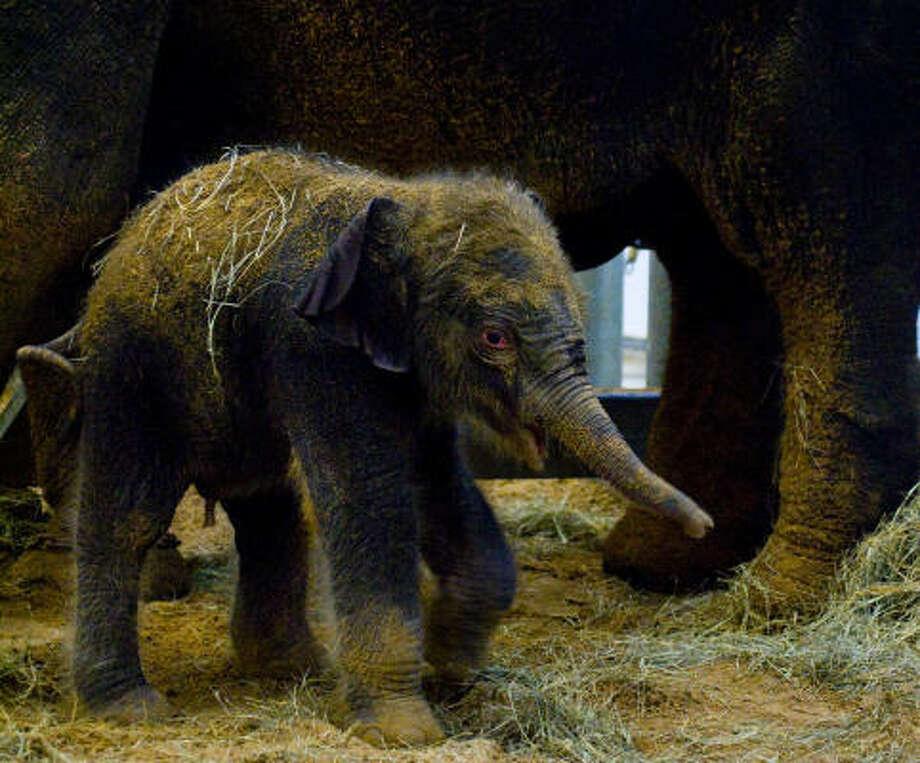 After a pregnancy lasting almost 23 months, Shanti delivered a healthy 348-pound male calf Tuesday morning at the Houston Zoo's McNair Asian Elephant Habitat.  • Zoo hopes baby is a survivor   • Video: Watch baby Baylor's meal Photo: Karen Warren, Chronicle