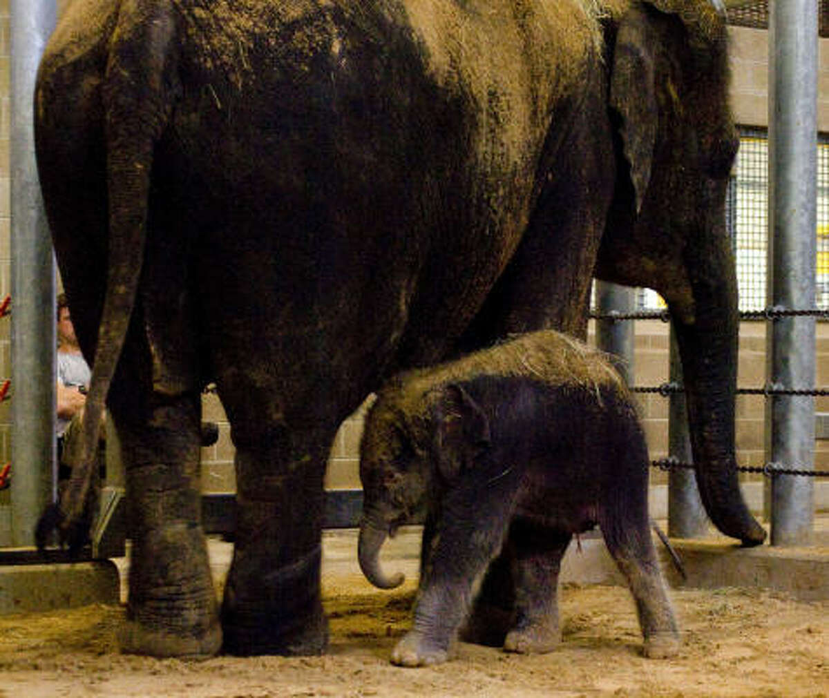 Baylor is 19-year-old Shanti's third calf. Her first baby, Bella, died after her leg was broken. Second calf Mac died of elephant herpes virus. ?• Zoo hopes baby is a survivor ?• Video: Watch baby Baylor's meal
