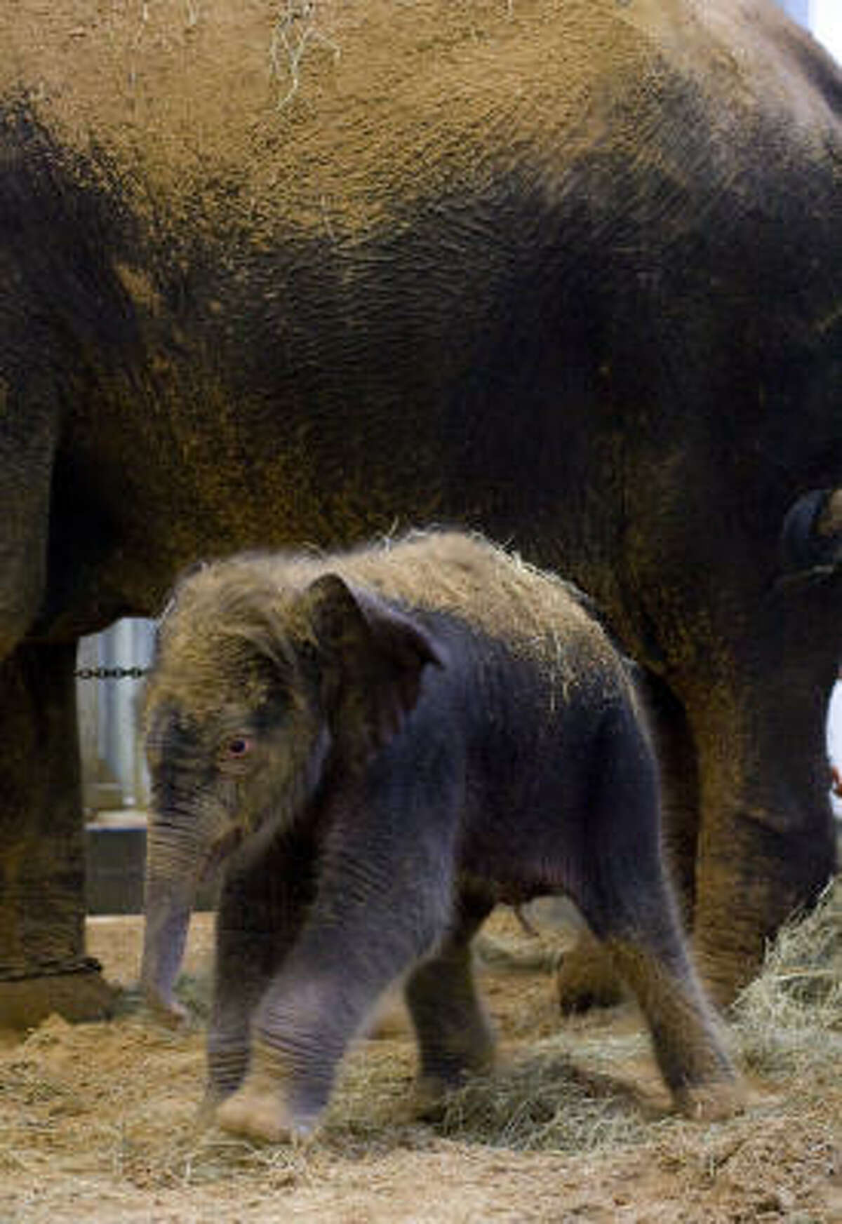 The calf has been named Baylor in recognition of the advances made by Baylor College of Medicine to significantly reduce the threat of a potentially lethal elephant herpes virus. ?• Zoo hopes baby is a survivor ?• Video: Watch baby Baylor's meal
