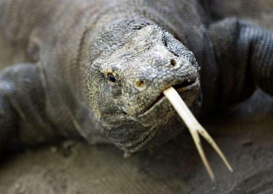 Komodo Islandin Indonesia lent its name to its most well-known inhabitant, the Komodo dragon, the world's largest living lizard. Photo: Dita Alangkara, AP