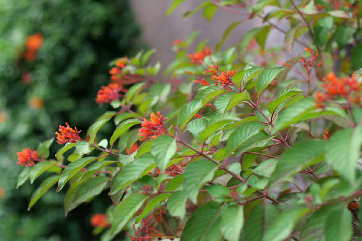 My firebush or hummingbird bush (Hamelia patens) was a proud, 8-foot mound last fall and nothing but sticks after last winter. But new shoots are inching upward, and I look forward to visiting butterflies and hummingbirds who love the nectar-filled orange-red tubular blooms. Top 10 lists for Houston plants | Texas Superstar website | Submit your garden photos | Houston Plant Database | HoustonGrows.com