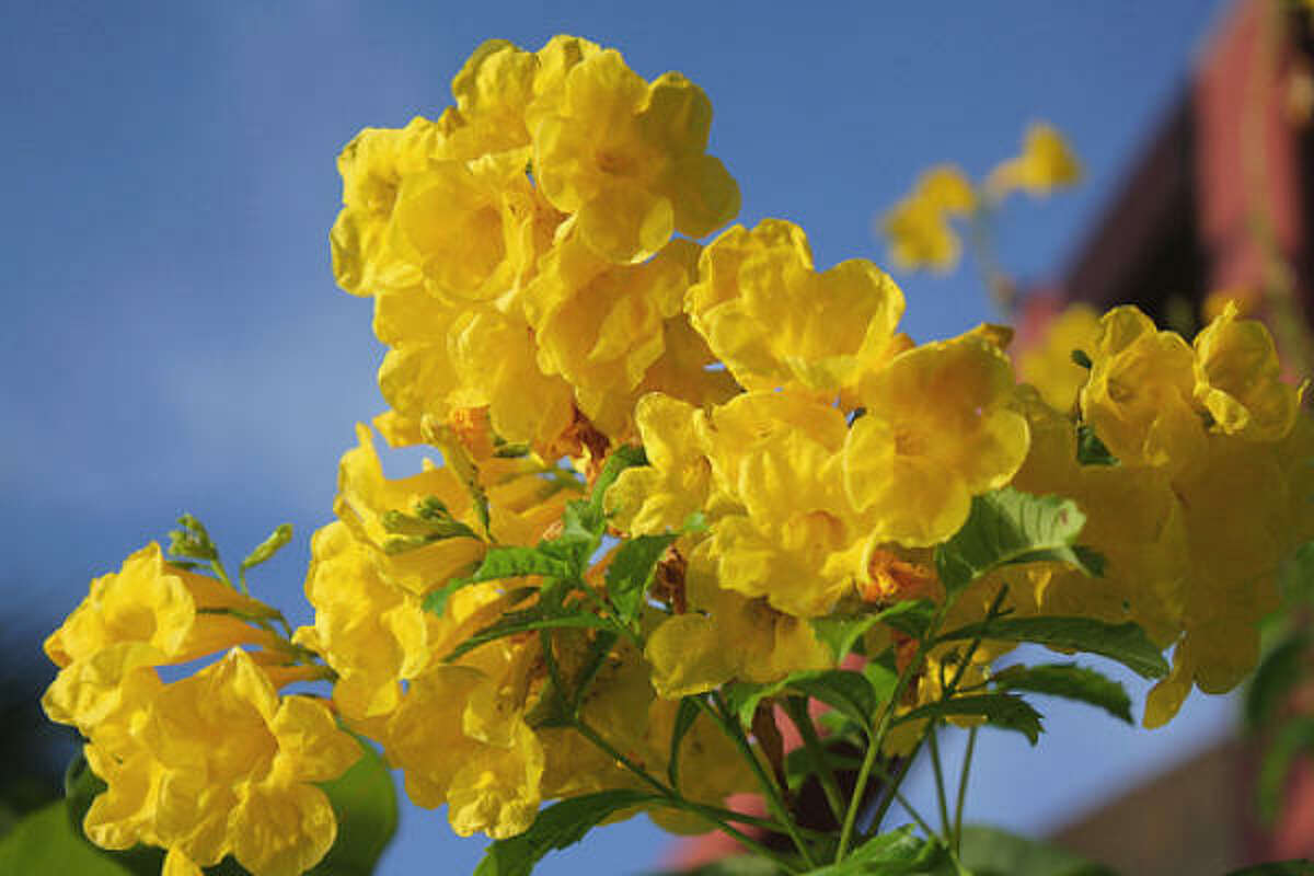 'Gold Star' esperanza, Tecoma stans , is also making a return. This easygoing, 4- to 6-foot shrub produces golden-yellow, trumpet-shaped flowers spring to frost. Top 10 lists for Houston plants | Texas Superstar website | Submit your garden photos | Houston Plant Database | HoustonGrows.com