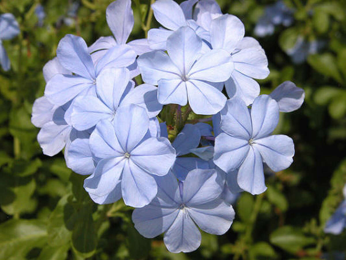 Plumbago (Plumbago auriculata) , an old-time, popular heat- and drought-tolerant wonder, offers a profusion of blue, butterfly-attracting blooms spring until frost. It likes an occasional drink during extended dry spells. In sun or shade, the long, arching stems make a soft mound or can be trained vertically like a vine. Top 10 lists for Houston plants | Texas Superstar website | Submit your garden photos | Houston Plant Database | HoustonGrows.com