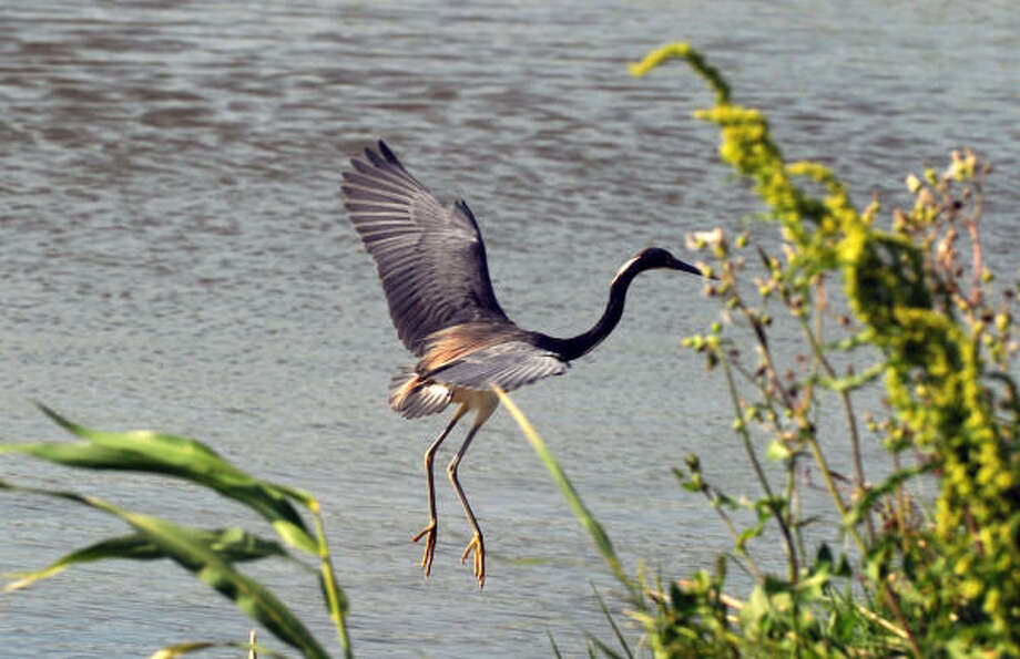 A Louisiana Heron flies above the fragile wetlands near the town of Venice, in the path of the oil spill that is creeping towards the coast of Louisiana. Photo: MARK RALSTON, AFP/Getty Images