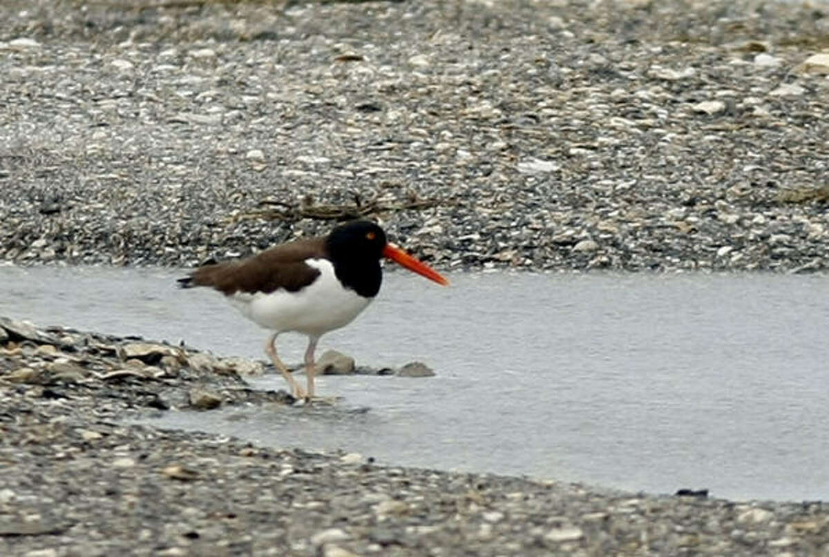 An American Oystercatcher is seen on the shore of the Chandeleur Islands, home of the Breton National Wildlife Refuge, off the Southeastern coast of Lousiana. The barrier islands are at risk from a growing oil spill and leak in the Gulf of Mexico caused by the explosion and sinking of the Deepwater Horizon oil rig last week.