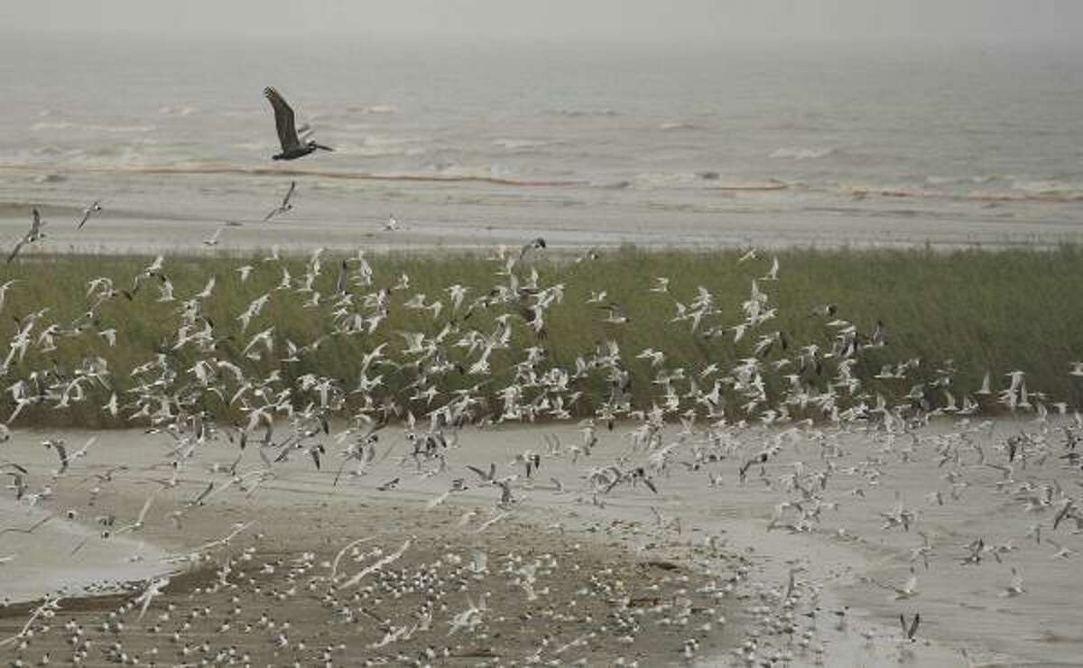 Brown pelicans and gulls fly in front of oil booms along the shoreline at Pass a Loutre, La., where the Mississippi River meets the Gulf of Mexico Friday, April 30, 2010. Wildlife in the region is vulnerable to the looming oil spill from last week's collapse and spill of the Deepwater Horizon oil rig.