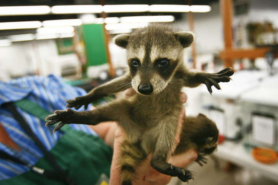 Sheryl Rogers holds a baby raccoon before feeding it a meal of dog food. To help animals like this raccoon, go to http://wrande.org/. Photo: Michael Paulsen, Chronicle