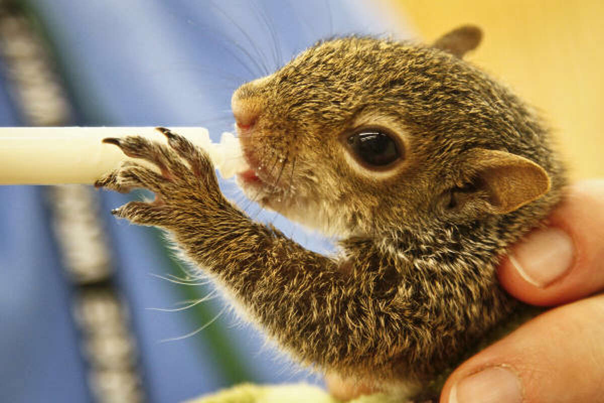 A baby squirrel gets a helping of milk.