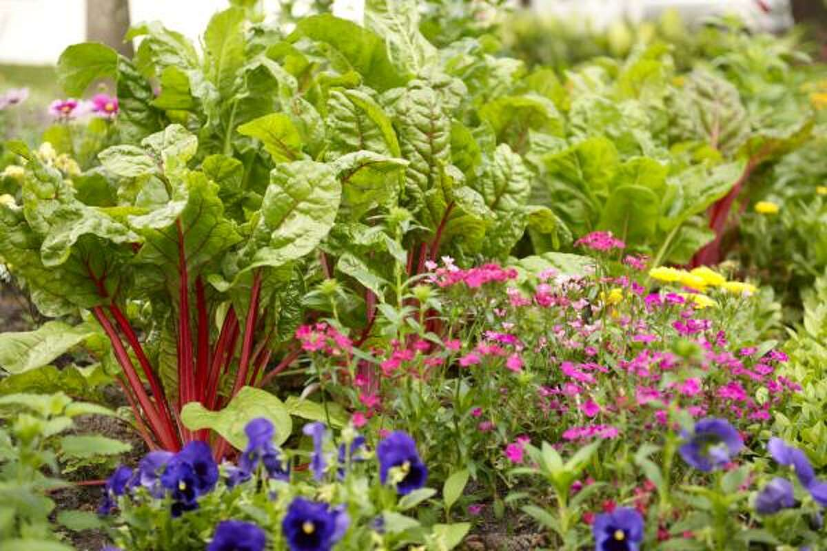 Dianthus picks up the color in the Swiss chard.