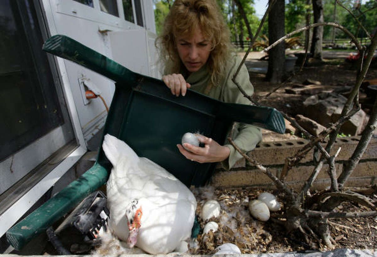Tobi Kosanke of Crazy K Farm checks Muscovy duck eggs. She rescues the Muscovy ducks and also sell their eggs.