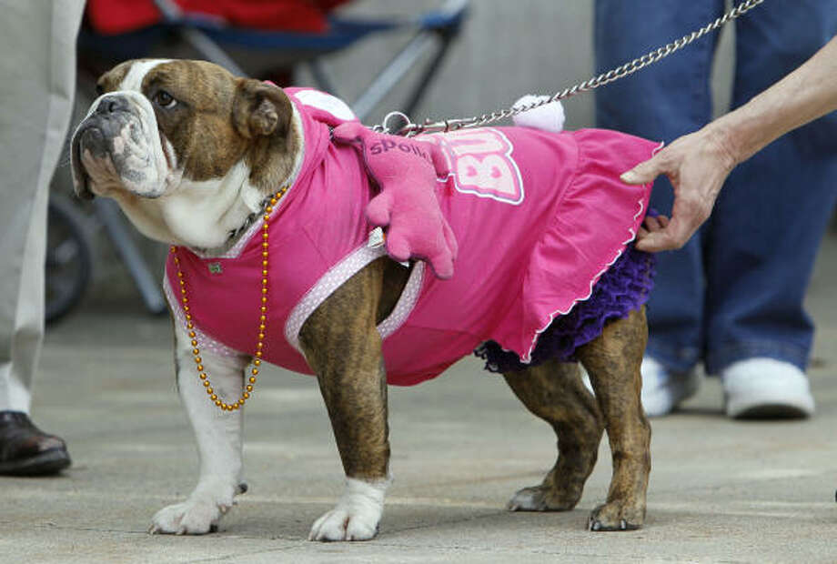Zena, Warrior Princess, gets a last-second costume adjustment before walking on stage during the 31st annual Drake Relays Beautiful Bulldog Contest. Photo: Charlie Neibergall, AP