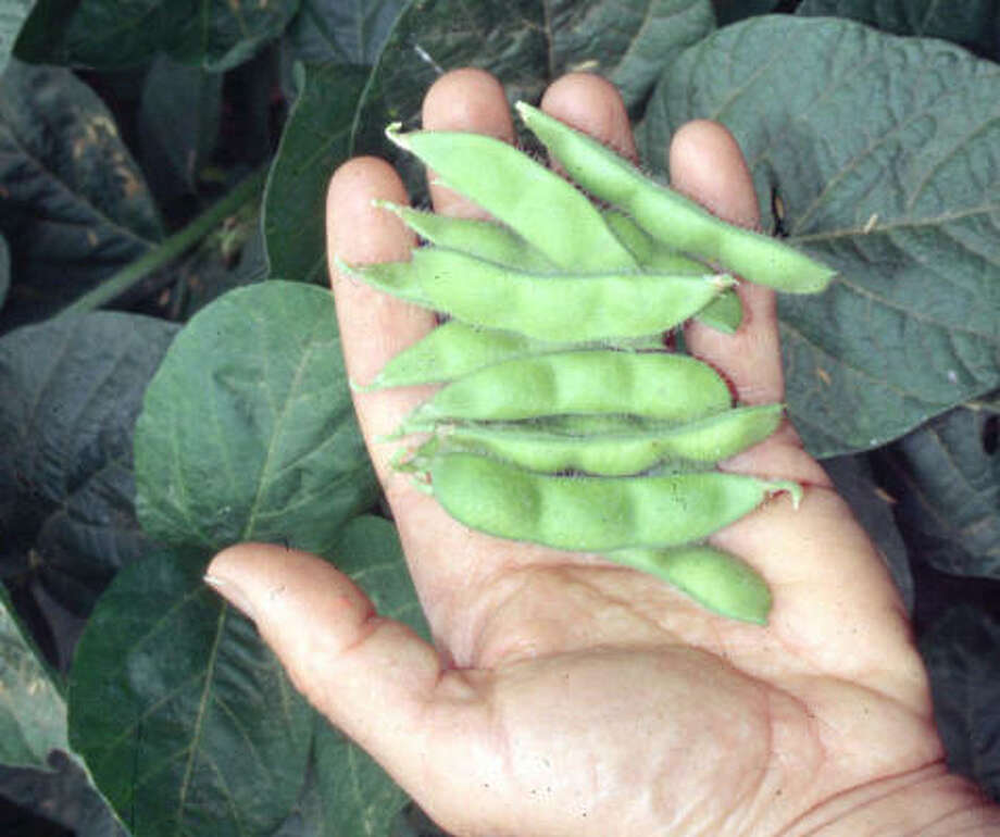 The soybean is not just an appetizer you get at a Japanese restaurant anymore. It's in just about everything. Photo: Lee Reich, AP