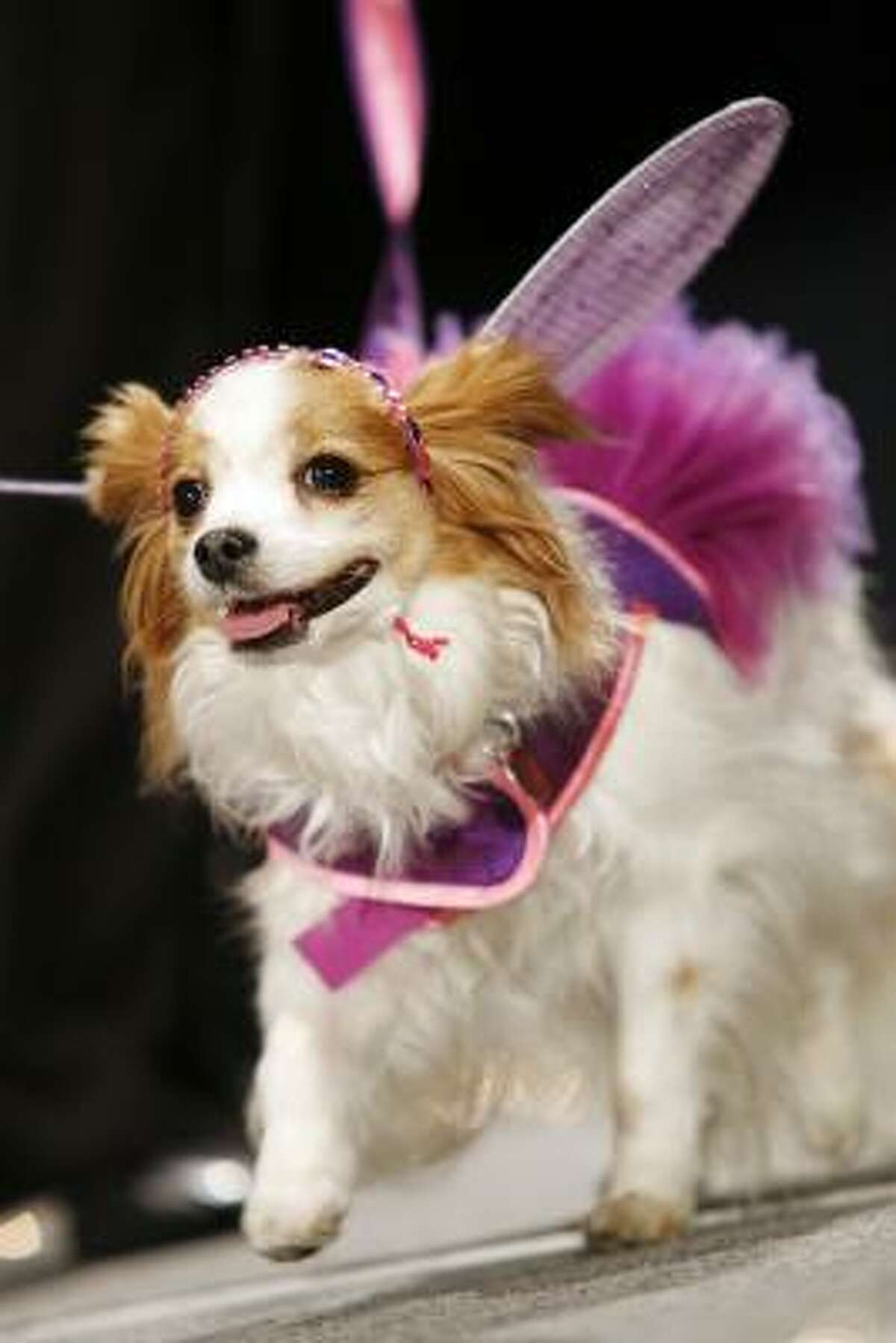 Lily, a Papillion, walks the runway in designer Lynne Correia's magical flower fairy outfit.