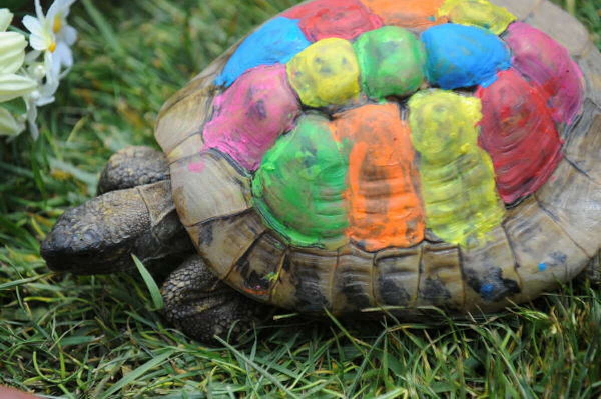 Speedy, a Russian tortoise, is decorated with watercolor paint for Easter at the Blessing of the Animals.