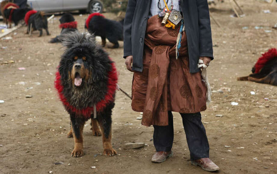"Among the must-haves for rich men in northeast China, the official Xinhua News Agency recently said, was a young beautiful wife, a Lamborghini and a Tibetan mastiff, ""the bigger and more ferocious the better."" Photo: Gemunu Amarasinghe, AP"