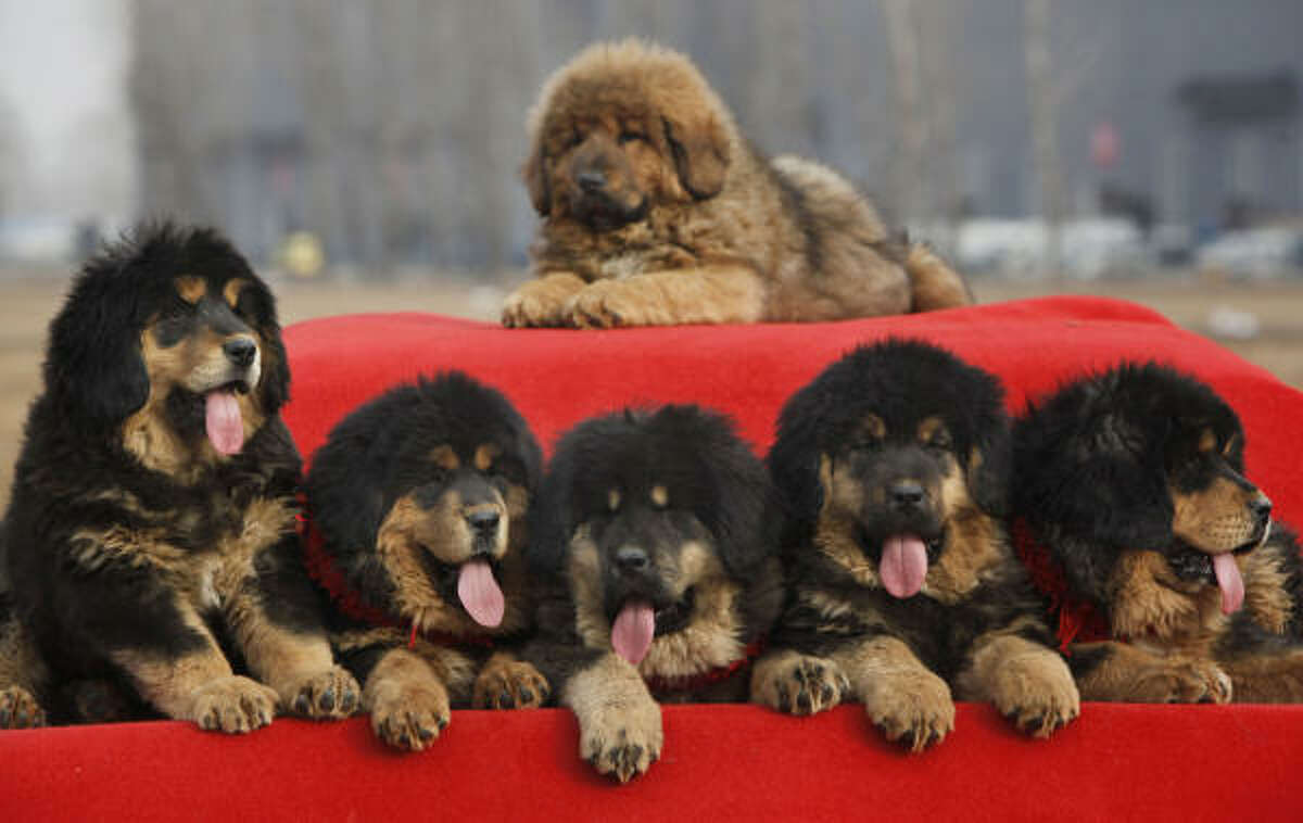 Tibetan mastiff puppies for sale sit on a car covered by a red blanket during annual China Tibetan Mastiff Expo in China Saturday and Sunday. In recent years, interest in Tibetan Mastiffs has surged in China with more rich Chinese looking for various ways to exhibit their wealth and investment options in addition stocks and real estate.