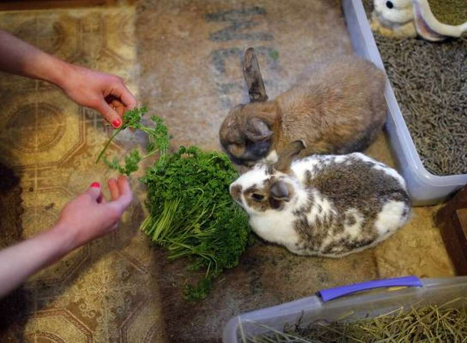 Erin Seeherman, a visitor from Philadelphia, feeds rabbits at the Bunny Museum in Pasadena, Calif. Guinness World Records dubbed The Bunny Museum the largest in 1999 when there were only 8,437 items in the house. Photo: Jae C. Hong, AP