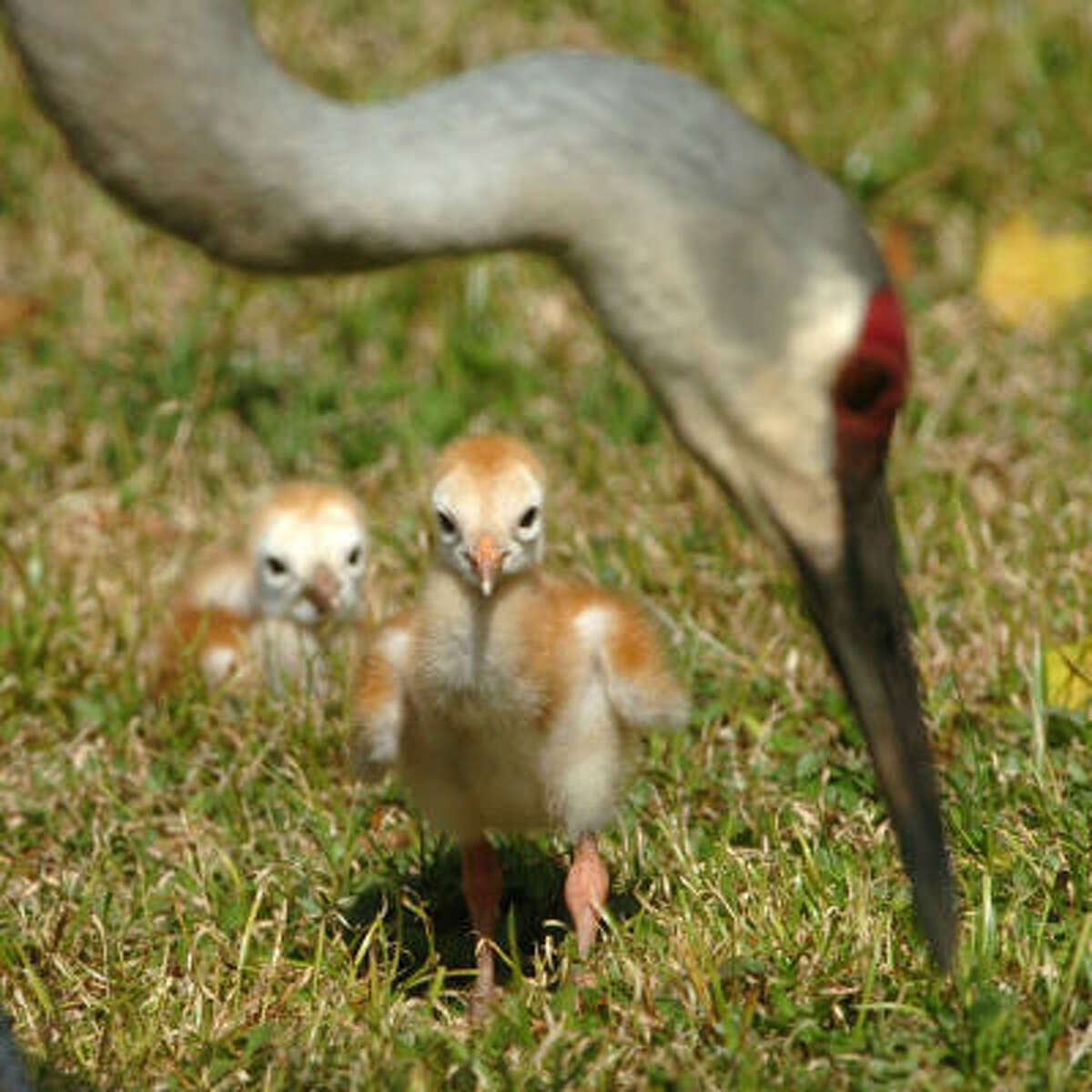 Two young Sandhill Cranes, just three days old, watch as their mother searches for food in East Manatee County, Florida.