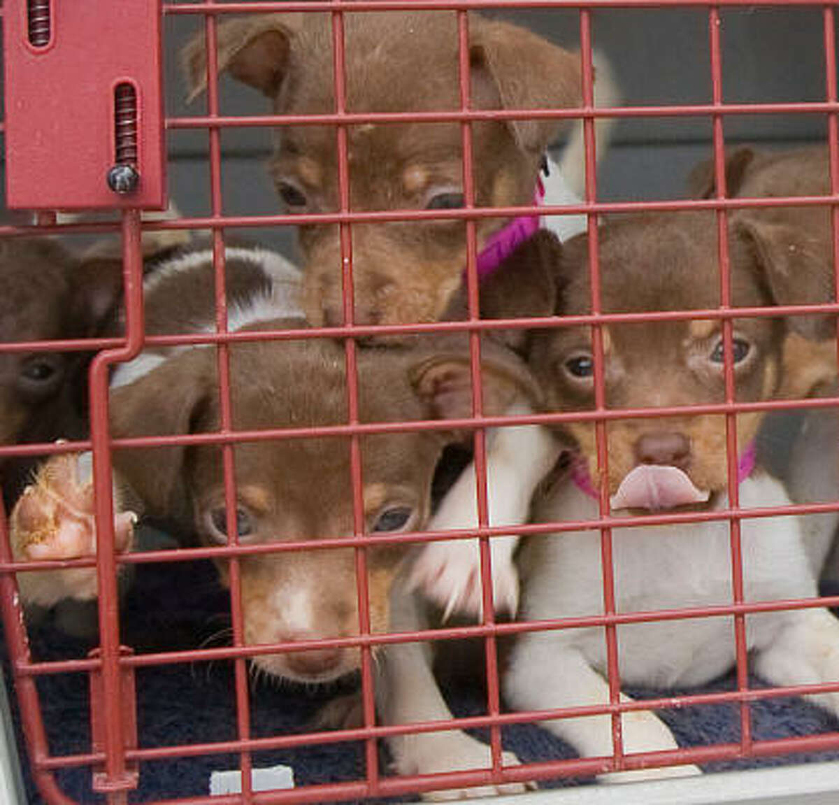 Rat Terrier puppies during their arrival to the Houston SPCA along with 18 adult Rat Terriers, 13 Rat Terrier puppies, 1 Chihuahua puppy. The dogs wereseized after a officials shut down a puppy mill in Waco.