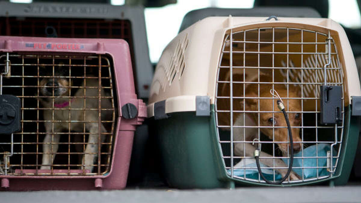 The dogs were seized after a officials shut down a puppy mill in Waco, at the Houston SPCA in Houston.