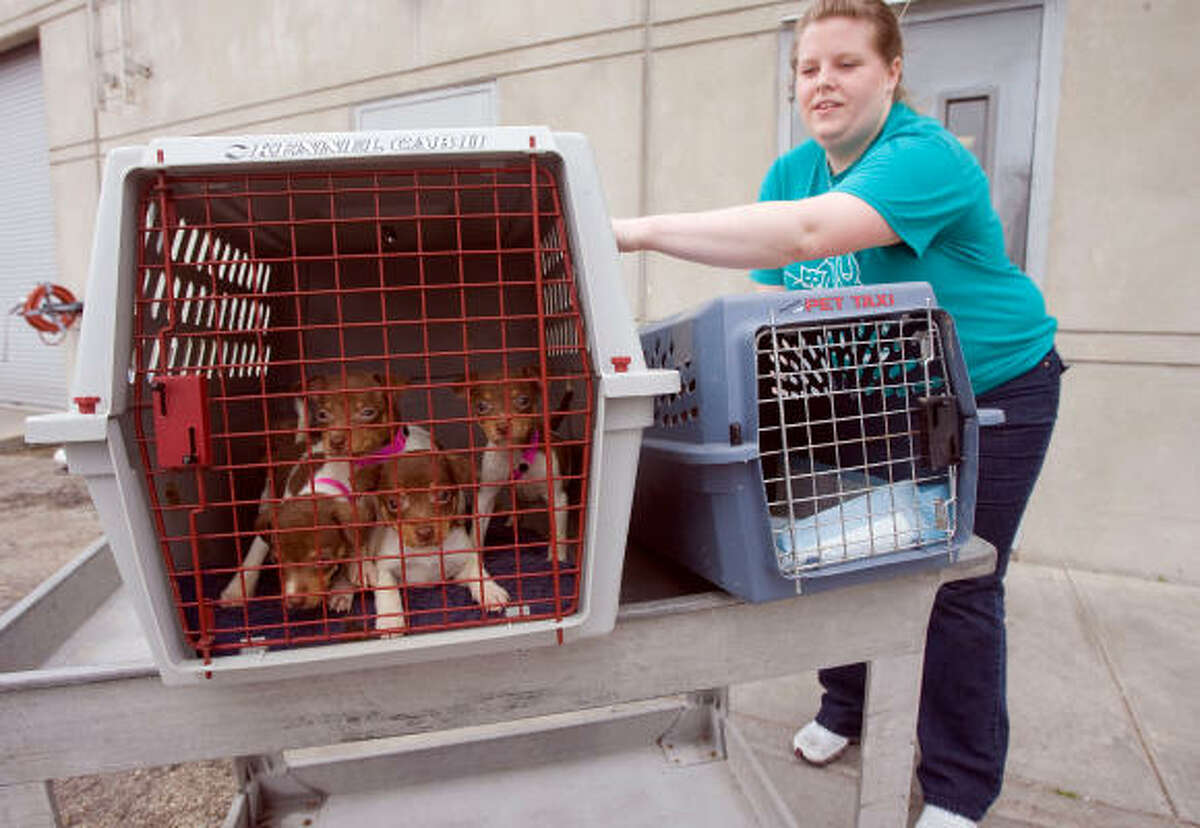 The Houston SPCA's Tiffany Gilbert moves puppies during the arrival of 18 adult Rat Terriers, 13 Rat Terrier puppies, 1 Chihuahua puppy and 1 Cavalier King Charles spaniel adult from the Waco Humane Society.