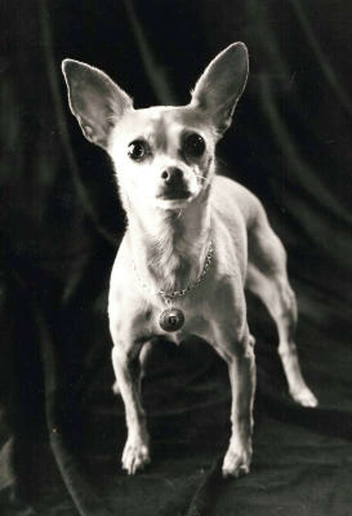 Gidget, the Taco Bell dog: The tiny chihuahua coined the phrase