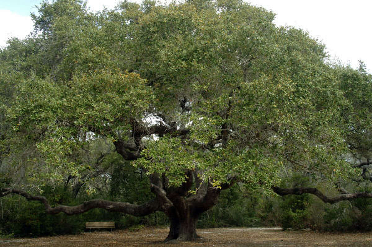 The huge live oak tree at Goose Island State Park. The overall pollen count for Houston today is 329, while the weekend forecast shows a