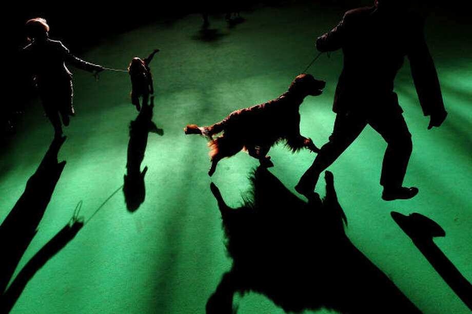 Dogs and their owners take to the arena on the final day of the annual Crufts dog show Sunday. During this year's four-day competition nearly 28,000 dogs and their owners participated. Photo: Dan Kitwood, Getty Images