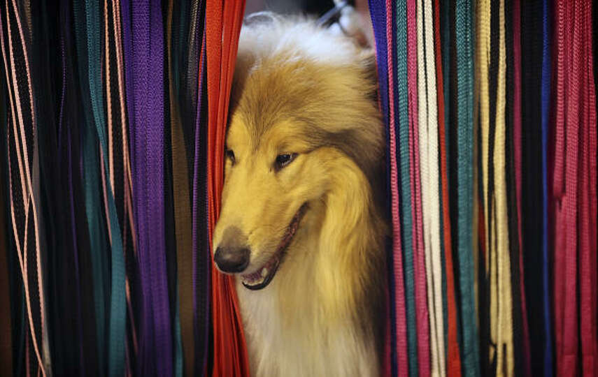 A dog peeks through leads on a display during Day 1 of the Crufts dog show.